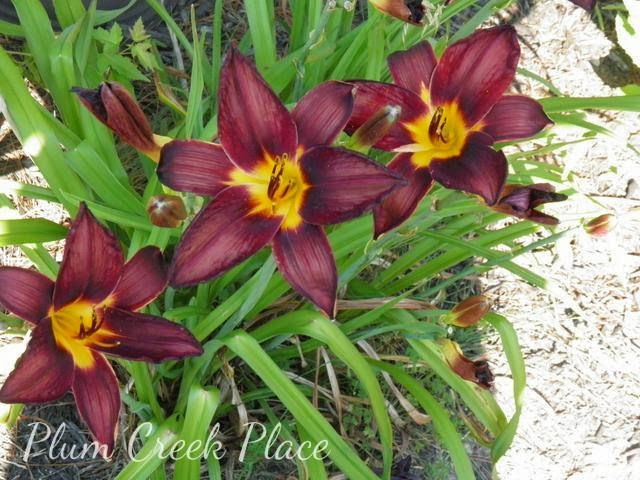 Day lilly, bronze and yellow