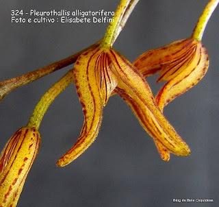 Pleurothallis alligatorifera. Specklinia alligatorifera, Lephantes blumenavii, Pleurothallis blumenavii