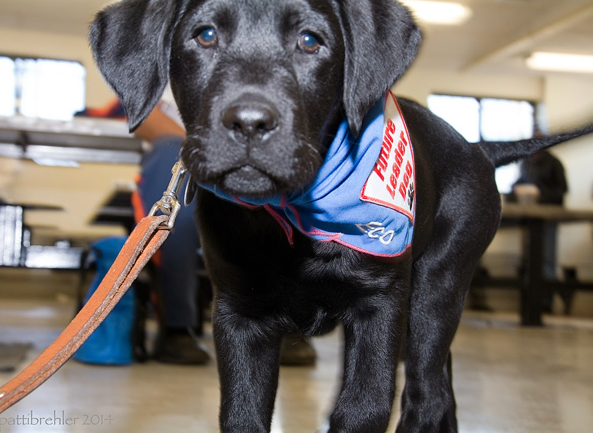 A low shot of a black lab puppy standing close and looking right at the camera. He has a leash hanging off his collar to the left and is wearing the blue Future Leader Dog bandana. The background lunchroom is out of focus.