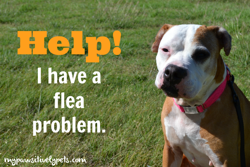Help! I Have a Flea Problem | Pawsitively Pets