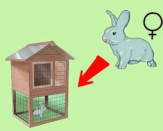 how rabbits breed