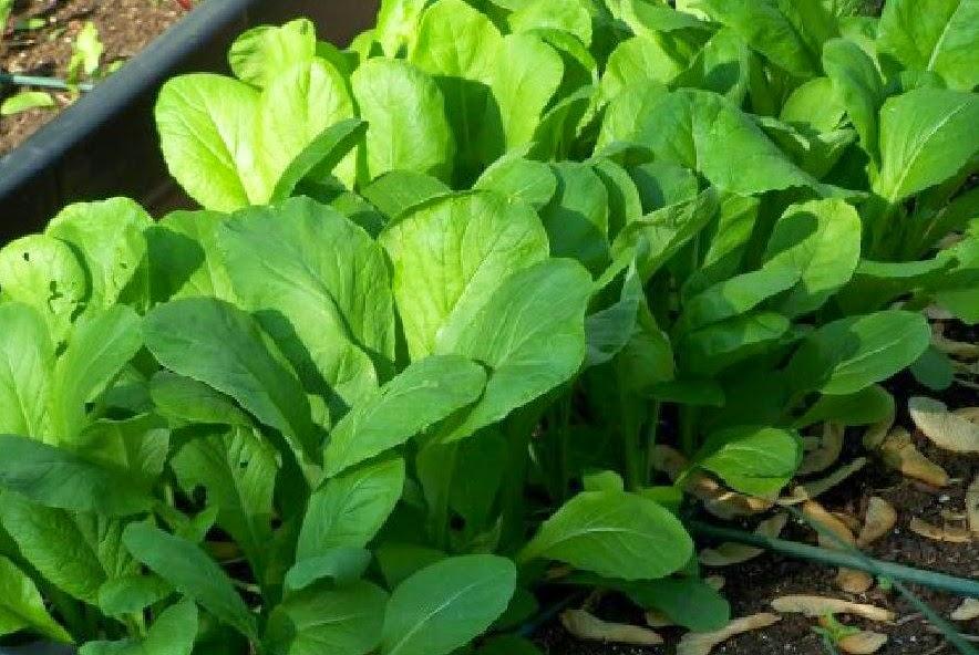 Горчица листовая или салатная