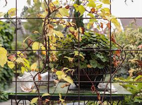 Ännu blommar Pelargonium australe