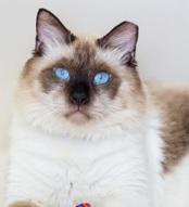 A identificação das orelhas para gatos de C.E.D