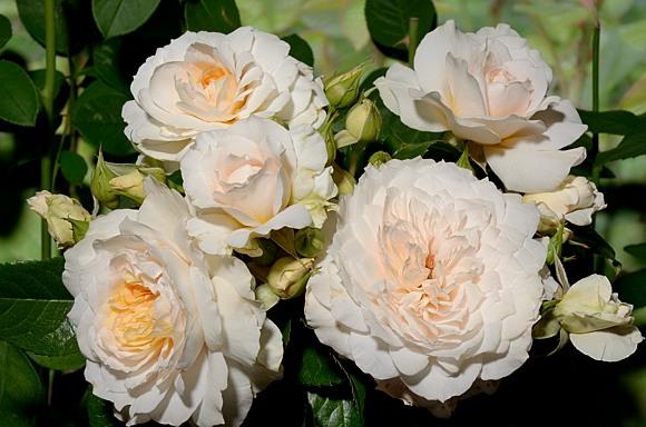 Nadine Xella-Ricci rose сорт розы фото