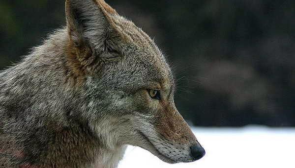 5 Aumente sus habilidades auditivas como las del coyote!