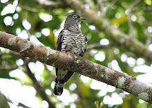 Indian Cuckoo_2011
