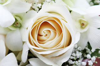 Beautiful White Rose HD Wallpaper