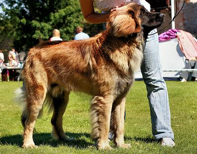 Training A Dog Leonberger: How Well Is Your Leonberger Groomed?