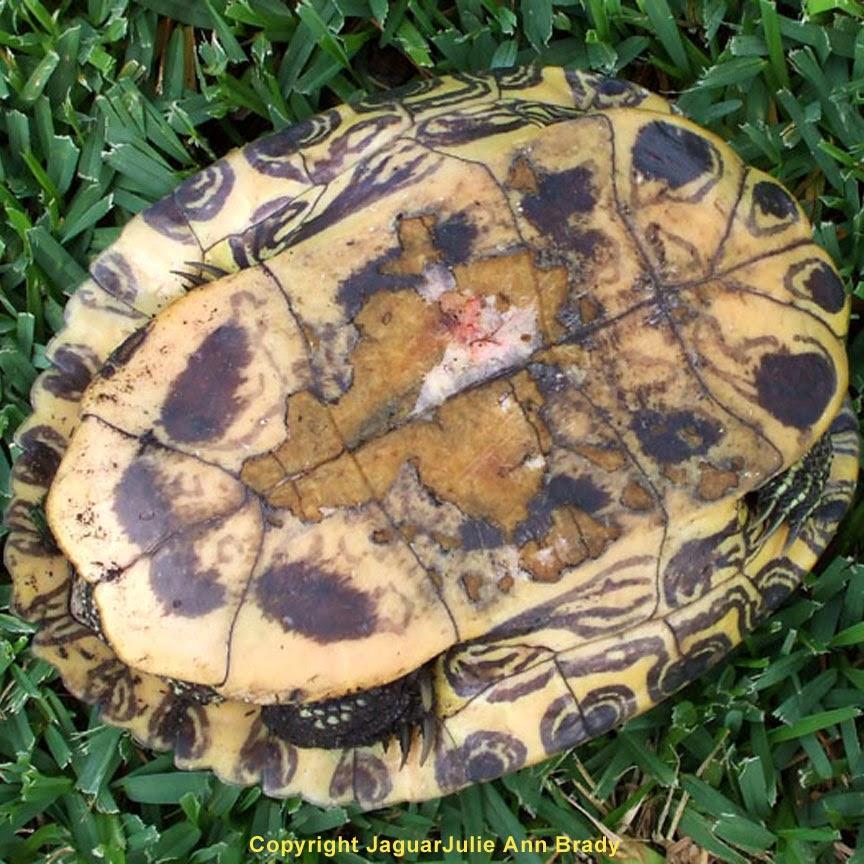 Underside of Painted Turtle in my Front Yard Garden