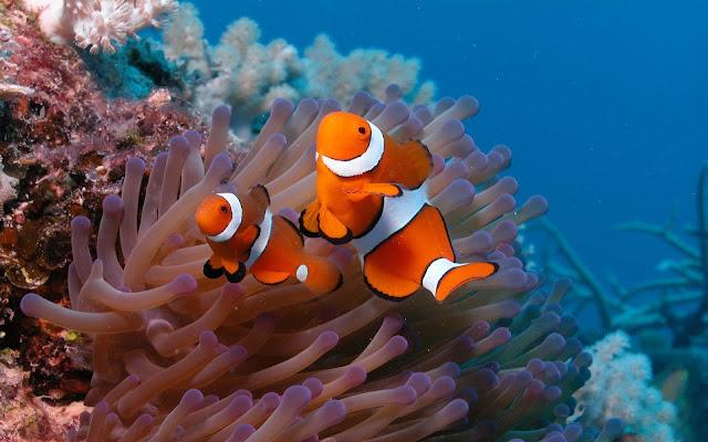 Imagenes de Peces en Arrecifes de Coral pez payaso Nemo