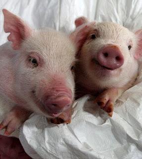 Các nhà khoa học Hàn Quốc đã cấy ghép thành công tim lợn biến đổi gene cho khỉ