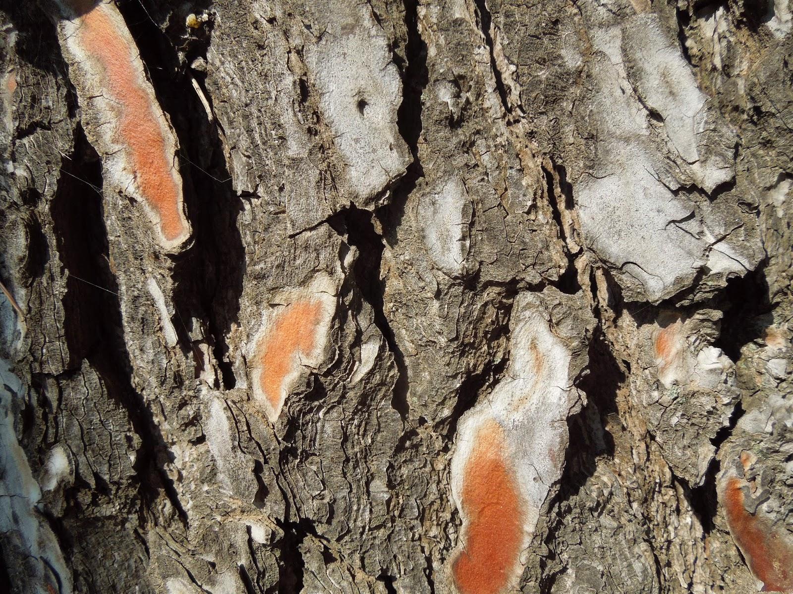 Corteza de pino montse fotoblog - Corteza de pino ...