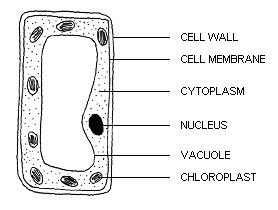 Simple plant cell without labels simple plant cell without labels biology form 4 animal ccuart Choice Image
