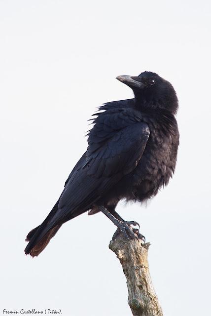 Corneja (Corvus corone)