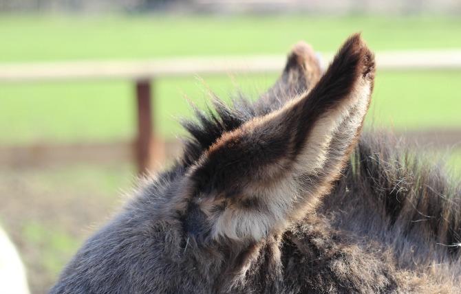 Fluffy donkey ears