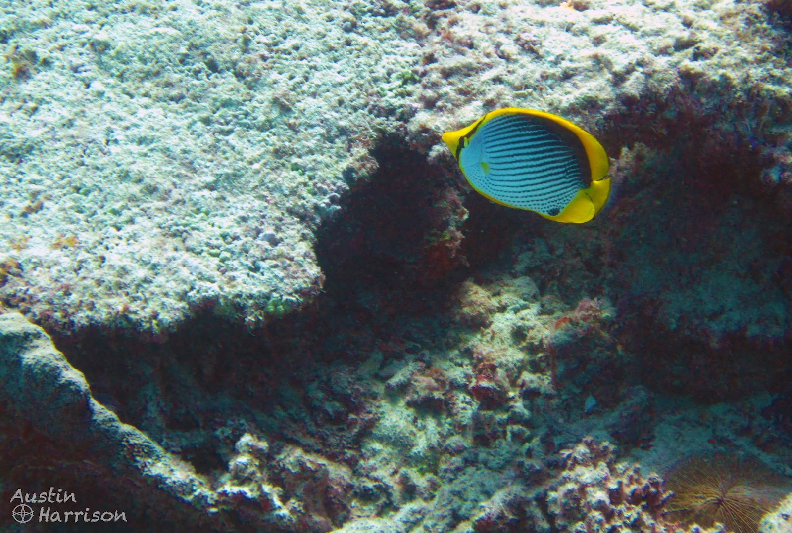 The ramblingstone australia diving on the great barrier for Great barrier reef fish