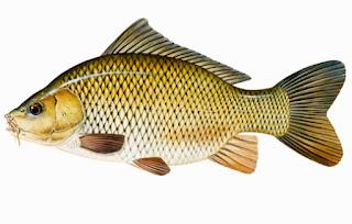 umpan mancing ikan mas harian