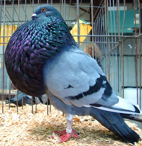 Pigeon Project: Gaditano Pouter | Featured Creature