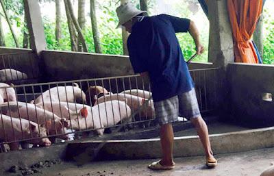 Một trại chăn nuôi heo lớn ở huyện Vĩnh Cửu, tỉnh Đồng Nai bị phát hiện có mẫu dương tính với chất tạo nạc - Ảnh: A Lộc