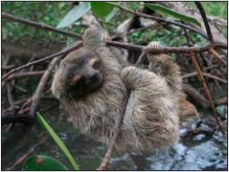 pygmy three toed sloth analysis Pygmy three-toed sloth conservation we've been trialling gps backpacks on the pygmy three-toed sloths to find out more about their behaviour data analysis.