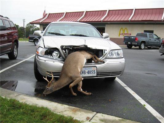 Funny deer wallpaper desktop  Funny Animal