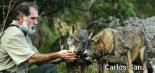 Amigo Lobo - Leyenda y realidad del lobo ibérico