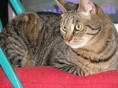Bengal mix cat an abbysinian bengal mix