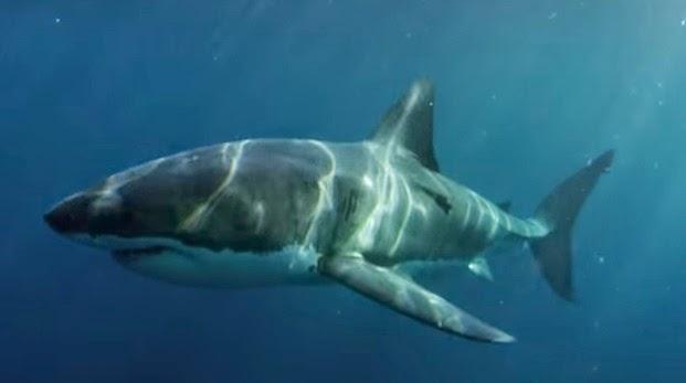 Tubarão de quase 3 metros foi devorada por um predador gigantesco