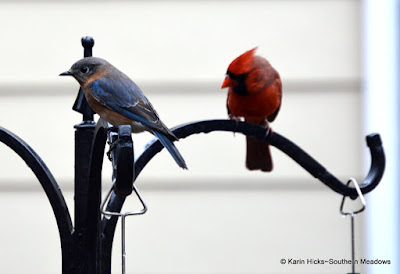 Bluebird and Northern Cardinal