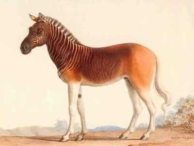 Most Amazing Extinct Land Animals Quagga