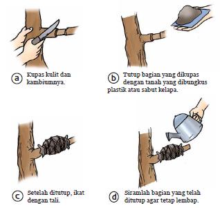 cara menanam buah dalam pot, cara menanam srikaya, cara mencangkok
