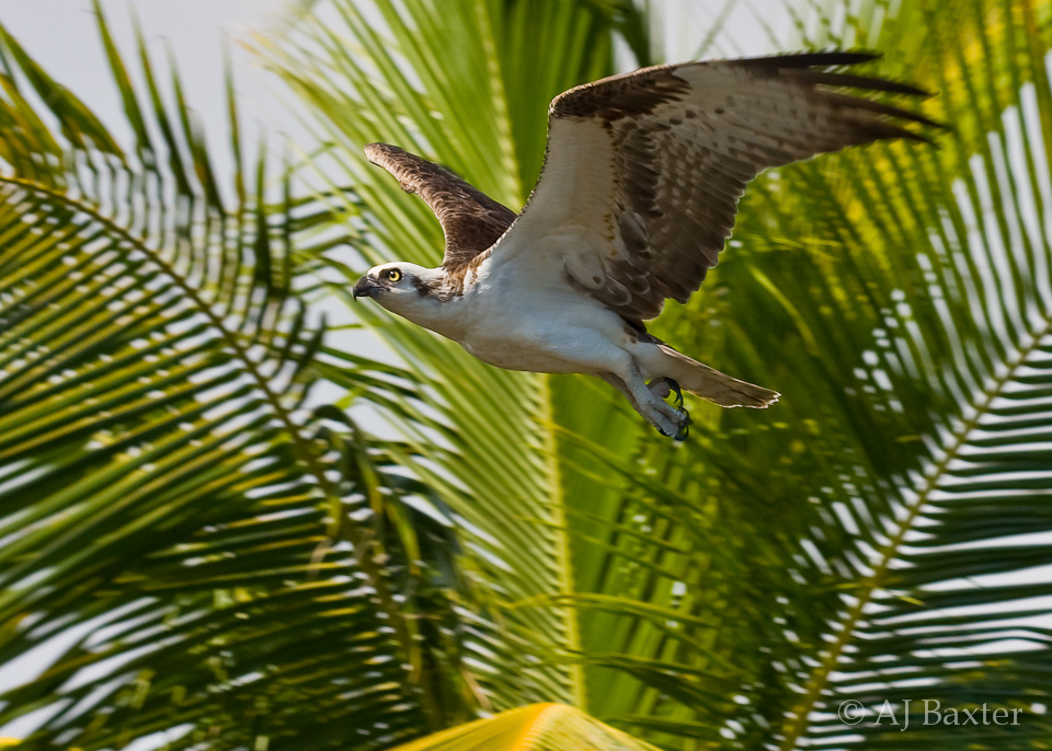 Image: Osprey flying amongst the palm trees of Ambergris Caye, Belize by AJ Baxter
