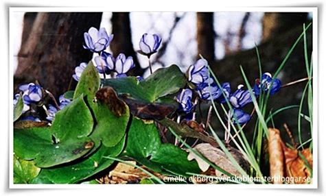 emelie ekborg, blåsippor, svenska blomsterbloggar, vår