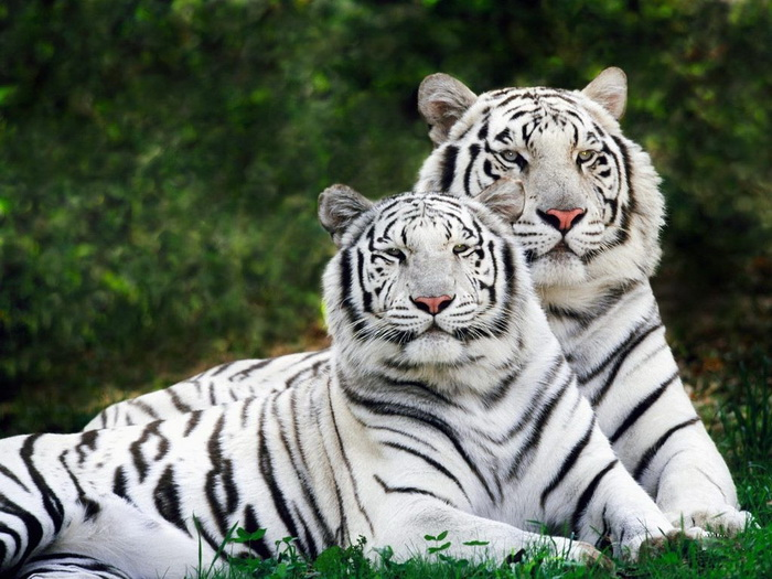 Awesome Wild Animal White Tigers