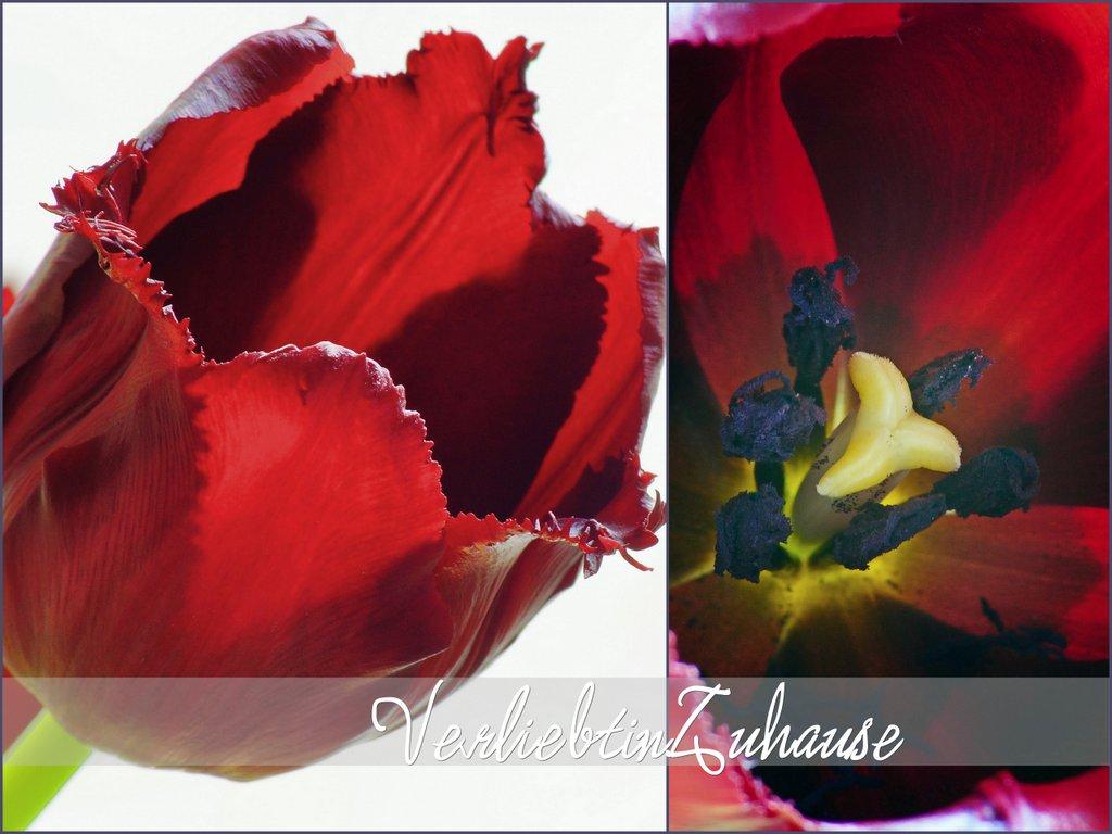 Makro einer weinroten Tulpe und Blütenstempel