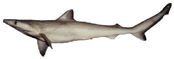 Tubarão Frango