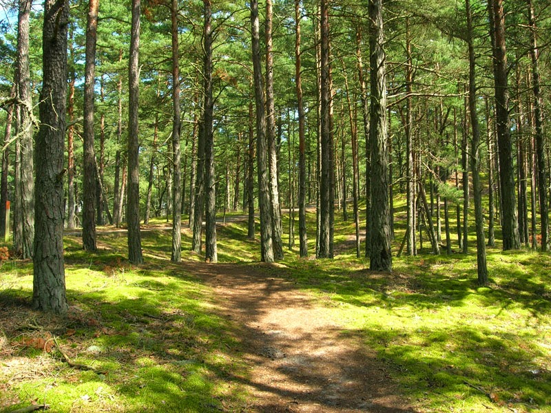 Bosco di pini silvestri