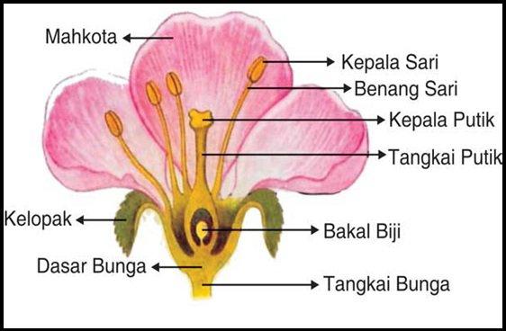Morfologi tumbuhan bunga adalah alat perkembangbiakan pada tumbuhan bunga merupakan tumbuhan yang akan menjadi buah bunga terdiri dari tangkai kelopak mahkota putik ccuart Choice Image