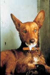 Σκύλος πάσχων από λύσσα