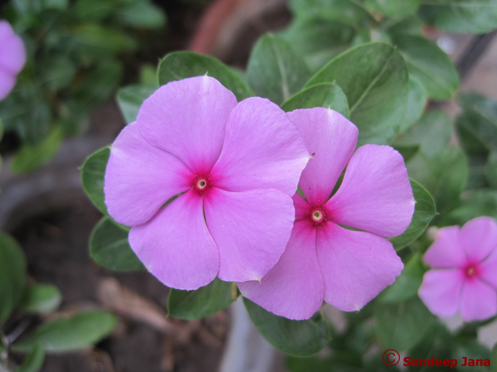 Common Flowers Found In India Flower Inspiration