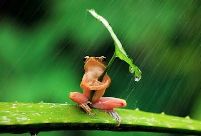sapito se tapa con una hoja de la lluvia