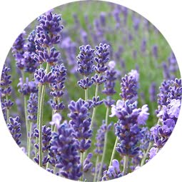 how to grow lavender from seeds uk