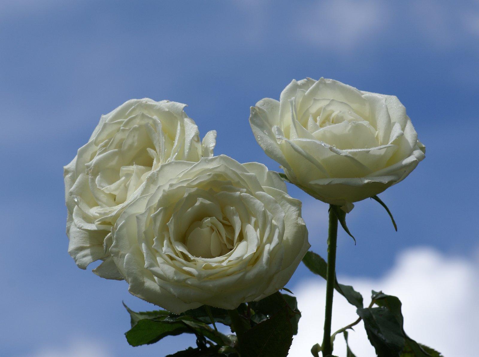 Imagenes De Rosas Blancas Hermosas - Rosas Blancas Imágenes De Archivo Vectores 123RF
