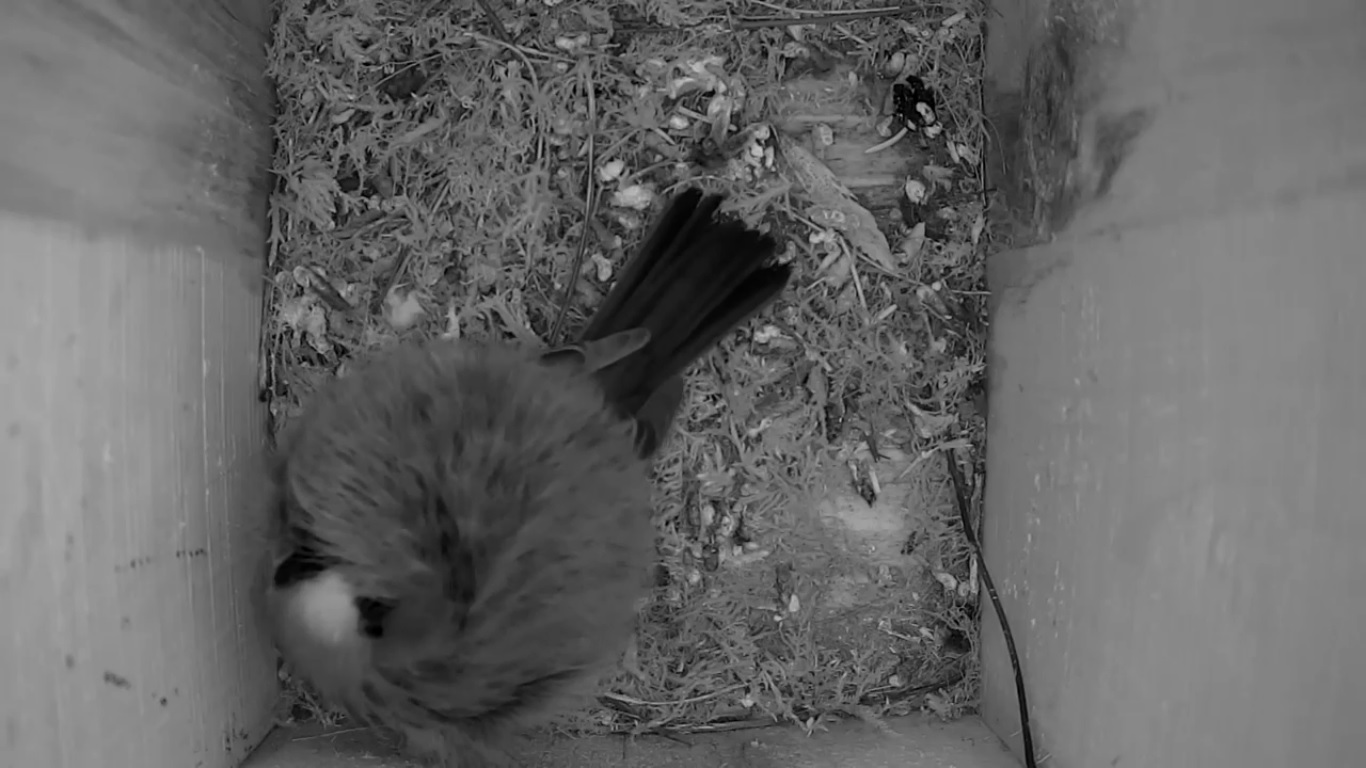 Cámara nido del carbonero común