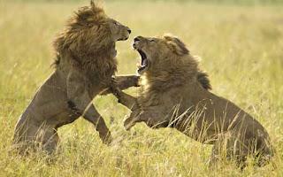 ảnh đẹp hình hai con sư tử