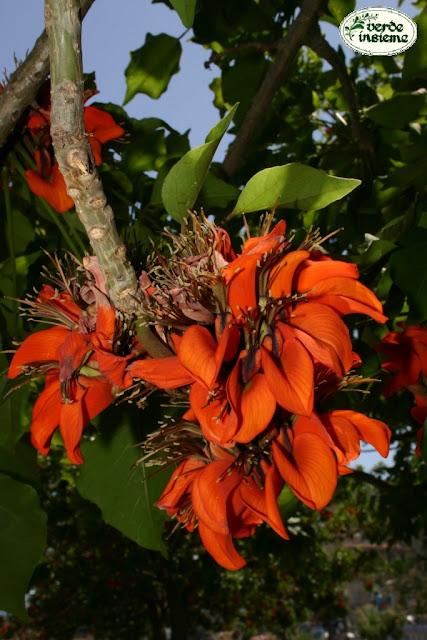 Erythrina viarum a palermo for Alberi da giardino con fiori