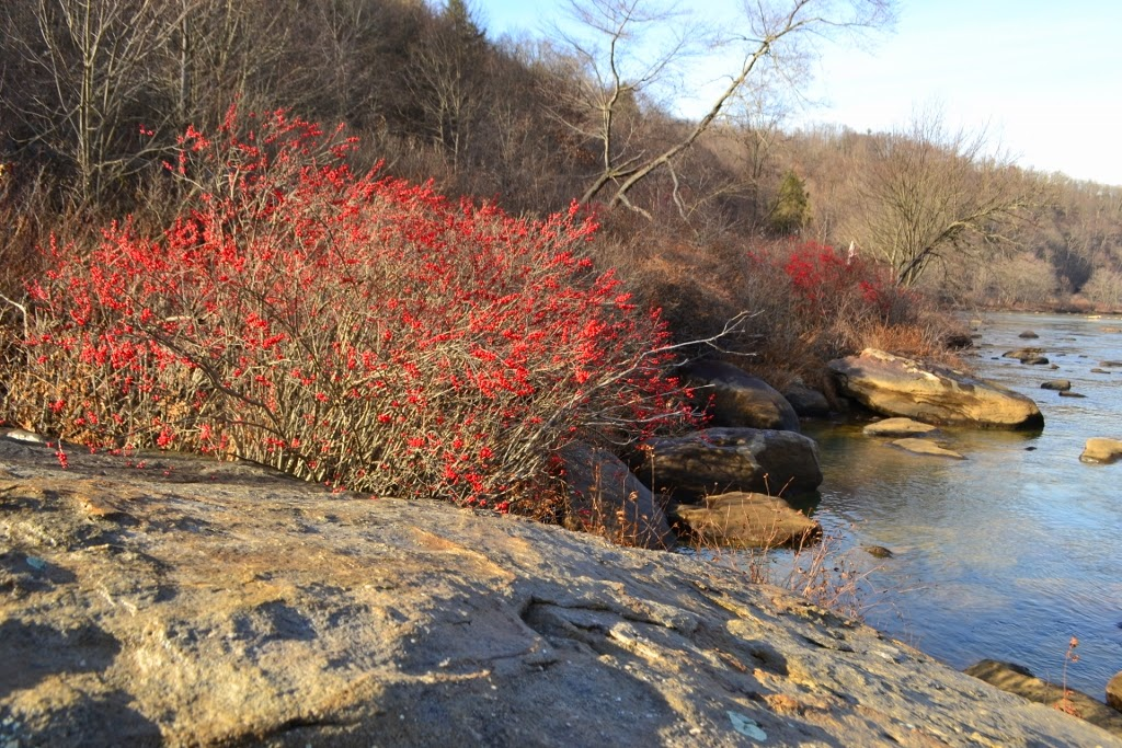 Winterberry bushes along the river