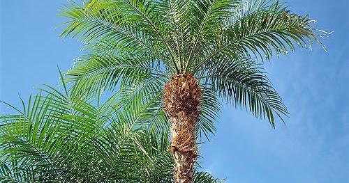 Palmier phoenix roebelenii flore de l le de la r union for Entretien jardin reunion