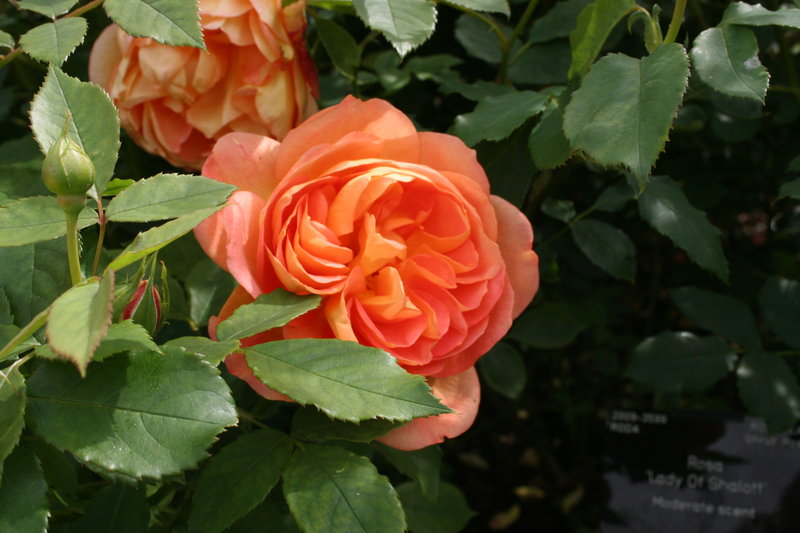 lady of shalott rose - photo #21